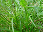 erba fresca