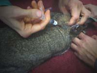 Protty viene vaccinato