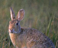 Eastern Cottontail - Sylvilagus floridanus - Length: 43 cm Habitat/Range: It is native to most of southern Canada, most of the central and eastern United States and much of Mexico. It prefers wooded swamps, brushy areas, and woodland edges.